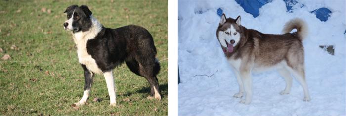 Races de grands chiens