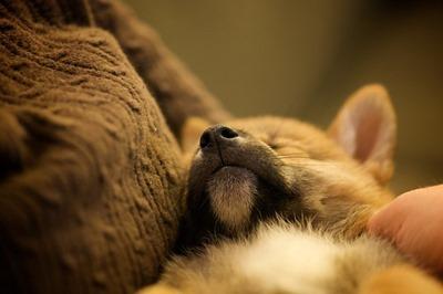 Chiot qui dort dans des bras
