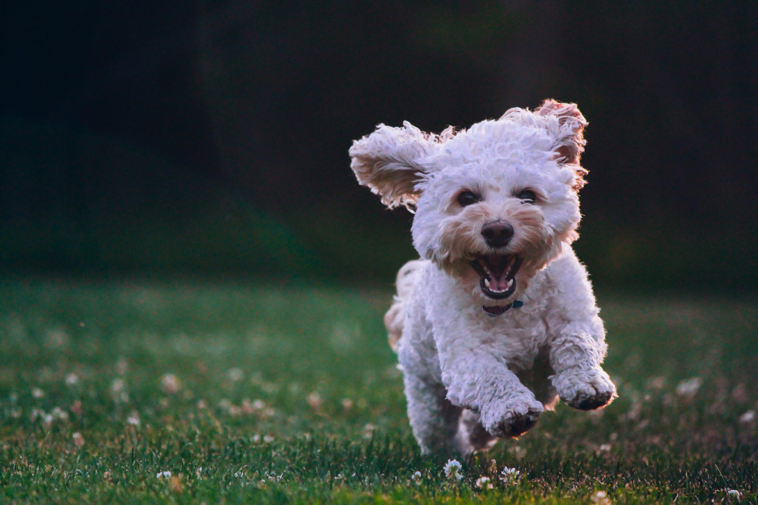 Les secrets pour apprendre le rappel à son chien