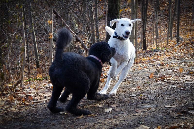 Jeu entre chiens : l'excitation peut rapidement monter