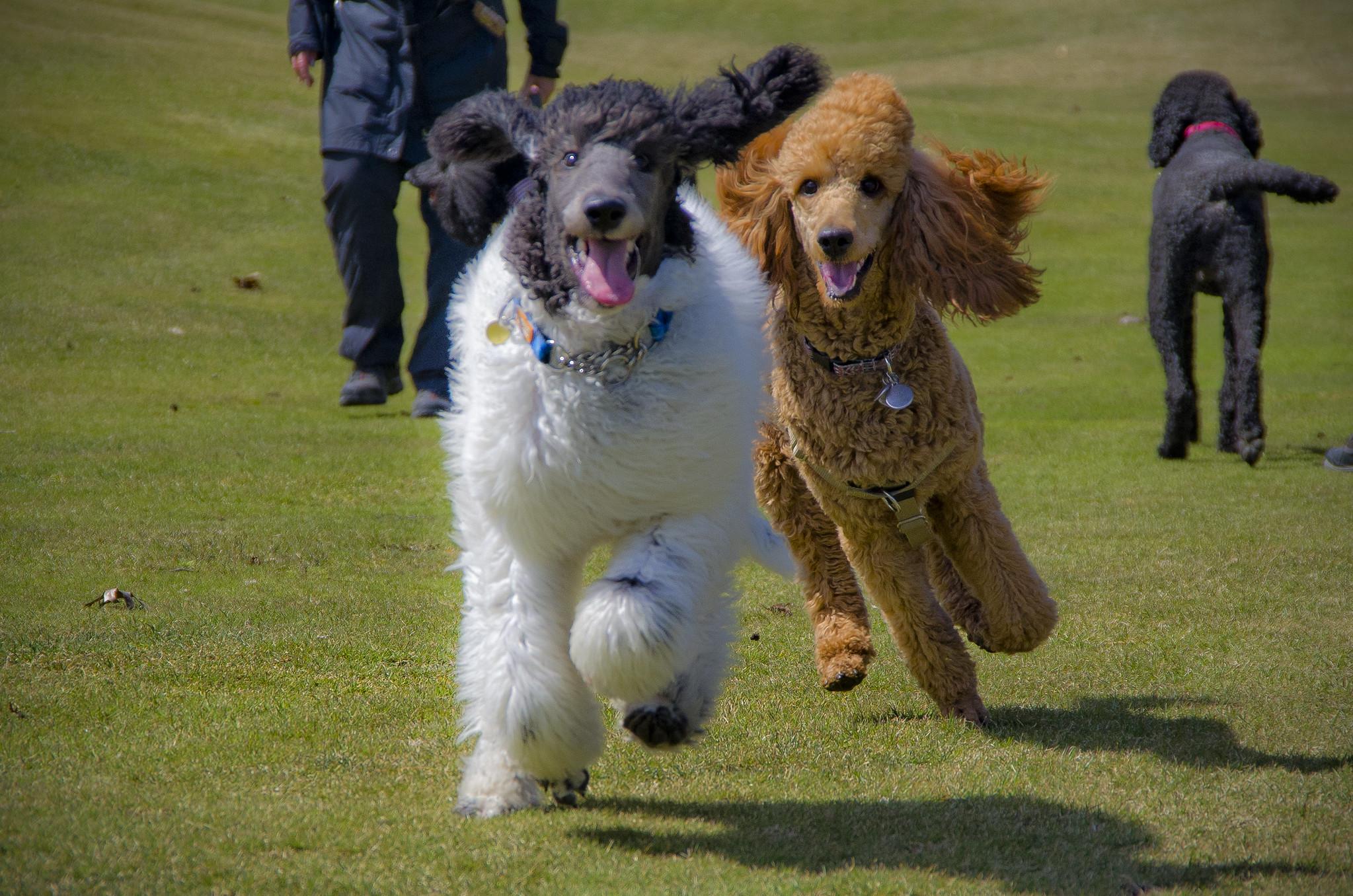 Balade entre chiens : 6 choses à faire attention