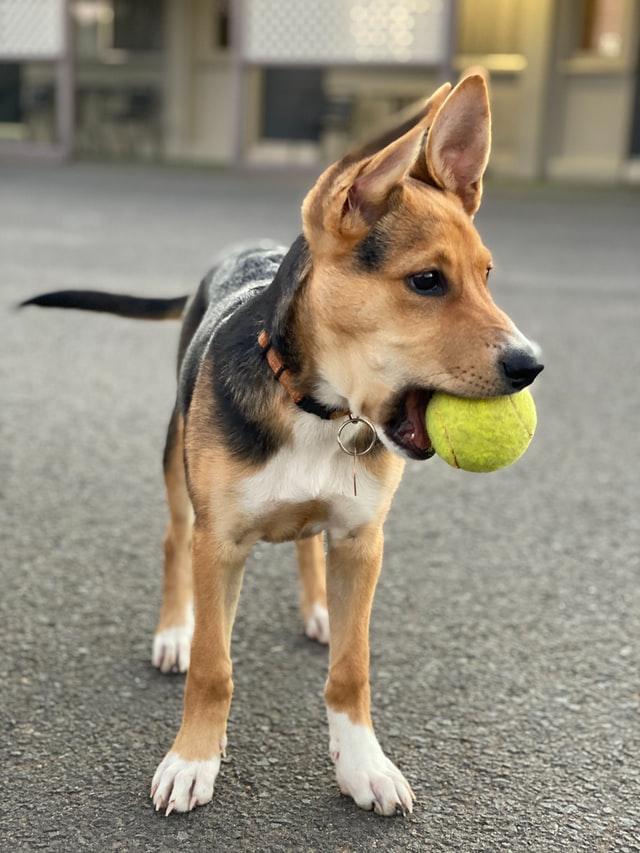 Rapporter la balle, aussi quelque chose à apprendre à son chien
