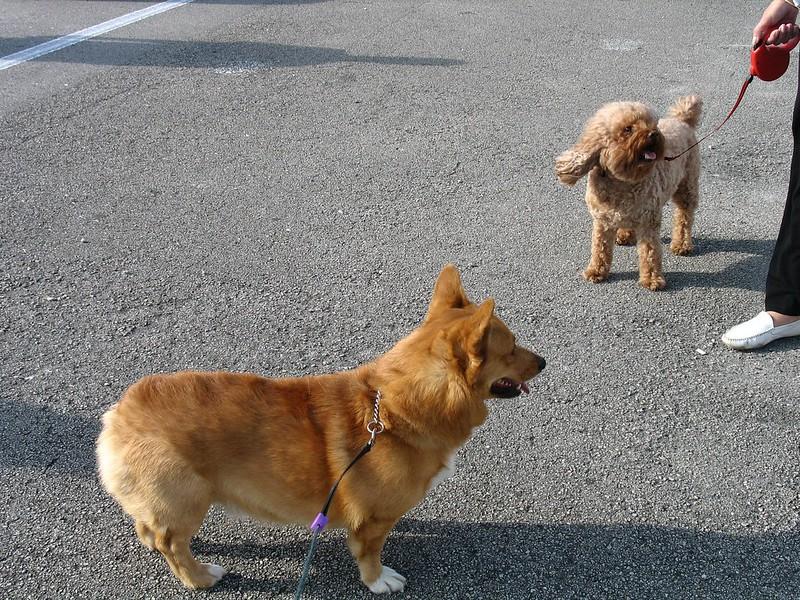 Rien de mal à rattacher un instant lors des balades entre chiens