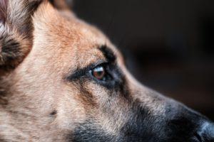 """Les catégories de chien : Chiens """"dangereux"""""""