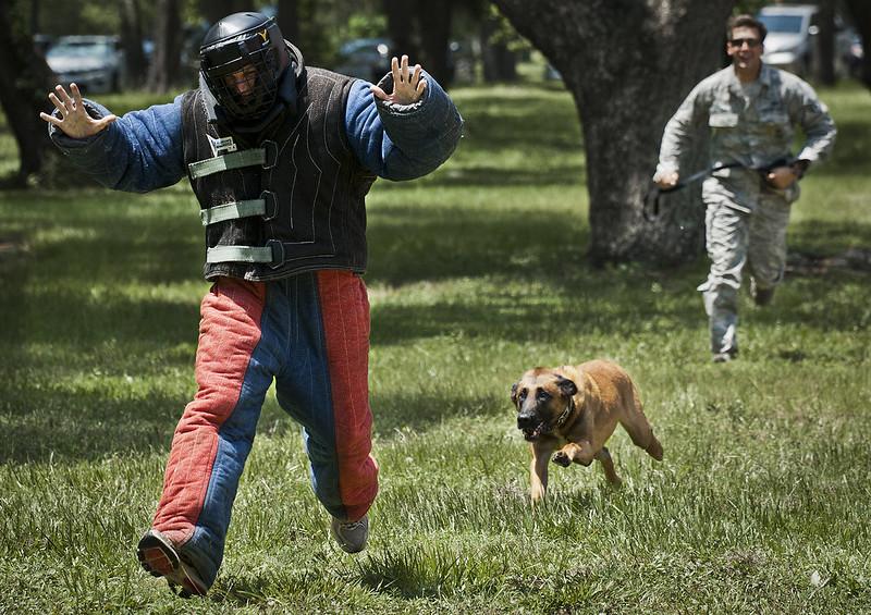 Entrainement de chien de police pour à l'attaque.