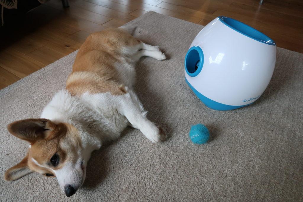 Günther, notre chien, aux cotés de son Ifetch Too,, son lanceur de balle.