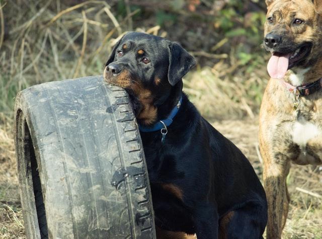 Rottweiler qui mâchouille un pneu