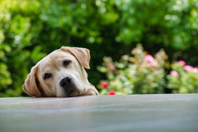 Un chien dehors, pensif, tête au sol, avec un air songeur.